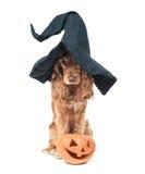 Psi obsiadanie w czarownica kapeluszu, spojrzeniach imponująco i fotografia stock