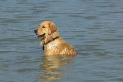Psi obsiadanie w klatki piersiowej głębokiej wodzie Zdjęcia Stock