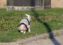 psi obwąchanie Zdjęcia Stock