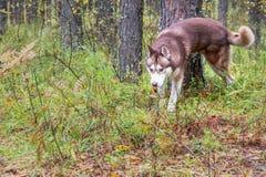 Psi ocechowania terytorium Syberyjskiego husky pies podnosił jego tylni nogę i zaznacza drzewa zdjęcia stock