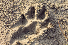 Psi odciski stopy na piasku Zdjęcia Royalty Free