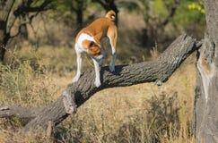Psi odprowadzenie na łamanej gałąź pobliski drzewo zdjęcia royalty free