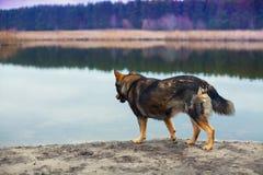 Psi odprowadzenie na brzeg rzeki Obraz Stock
