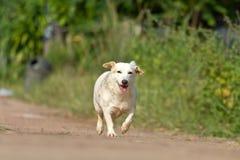 Psi odprowadzenie na drodze lub bieg Obrazy Stock