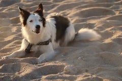 PSI odprowadzenie NA piasku PRZY NEWQUAY CORNWALL FISTRAL plażą zdjęcie stock