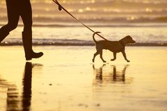 Psi odprowadzenie na smyczu na plaży przy zmierzchem Obraz Stock
