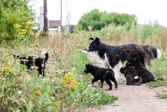 Psi odprowadzenie na ulicie z szczeniakami Dwa szczeniaków ssać Obrazy Royalty Free
