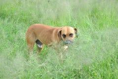 Psi odprowadzenie PRZEZ trawy Zdjęcie Stock