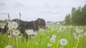 Psi odprowadzenie przy łąką zbiory wideo