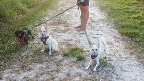 Psi odprowadzenie Trzy psa na przejściu obraz stock
