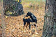 Psi odprowadzenie w lesie Obrazy Royalty Free