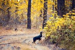 Psi odprowadzenie w lesie Obraz Royalty Free