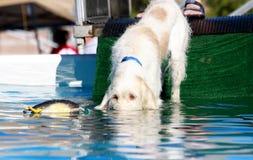 Psi oko ja target207_0_ z zabawką w wodzie Fotografia Stock