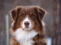 psi opiekun Obrazy Stock