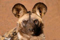 psi panafrykańskiego dziki Zdjęcie Royalty Free