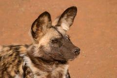 psi panafrykańskiego dziki Zdjęcie Stock