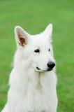 psi pasterski szwajcarski biel Obrazy Royalty Free