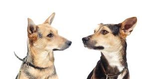 Psi patrzeć fotografia royalty free