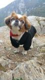 psi pekińczyk Zdjęcia Stock