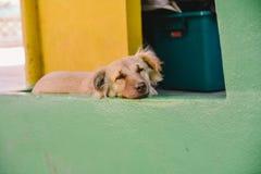 psi śpi Zdjęcie Stock