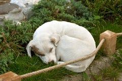 psi śpi Fotografia Stock