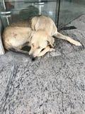 psi śpi Obrazy Stock