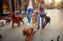 Psi piechur z psami cieszy się w spacerze zdjęcia stock