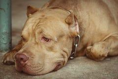 Psi pitbull Zdjęcie Royalty Free