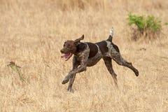 psi podąża niemiecki włosiany pointeru perfumowanie krótki Zdjęcie Royalty Free
