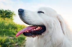 psi pole Polski Tatrzański Sheepdog, młody dorosły Podhalan zdjęcia stock
