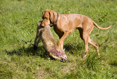 psi polowanie Obraz Royalty Free