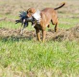 psi polowanie Zdjęcie Stock