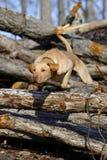 psi polowanie Fotografia Stock