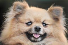 psi pomeranian Zdjęcia Stock