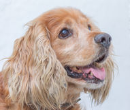 psi portret obrazy stock