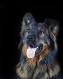 psi portret Obraz Stock