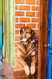 Psi portret drzwi Obrazy Royalty Free