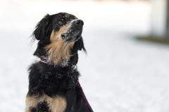 Psi portret w białym zimy tle psia bernese góry obraz royalty free