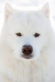 psi portret wizerunku portreta zapasu kobiety potomstwa samoyed Fotografia Royalty Free