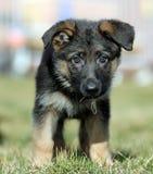 psi potomstwa Zdjęcie Stock