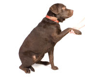 psi potrząśnięcie Fotografia Stock