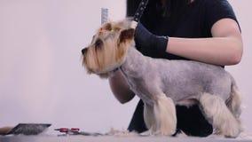 Psi Przygotowywać Przy zwierzę domowe salonem Śmieszny psi dostaje ostrzyżenie zbiory