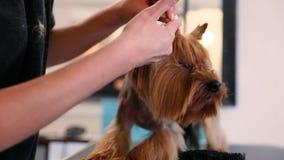 Psi Przygotowywać Przy zwierzę domowe salonem Groomer Robi Włosianemu stylowi Dla Terrier zdjęcie wideo
