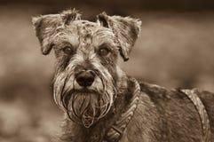psi psia głowa strzelał Fotografia Stock