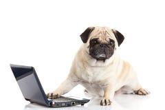 Psi pugdog komputer odizolowywający na białym tło laptopu internecie fotografia royalty free