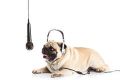 Psi pugdog z hełmofonem odizolowywającym na białym tła callcenter zdjęcia stock