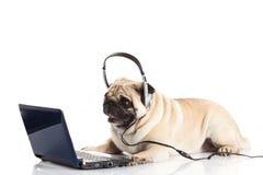 Psi pugdog z hełmofonem odizolowywającym na białym tła callcenter zdjęcia royalty free