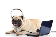 Psi pugdog z hełmofonem odizolowywającym na białym tło pracowniku callcenter komputer zdjęcia stock