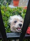 psi puszysty biel fotografia stock