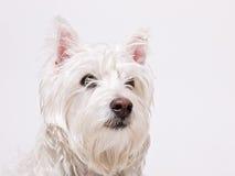 psi średniogórzy teriera na zachód biel Zdjęcia Stock